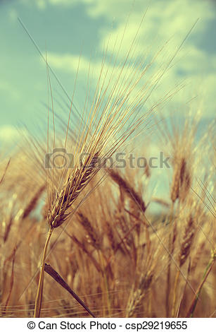 Stock Images of barley field.