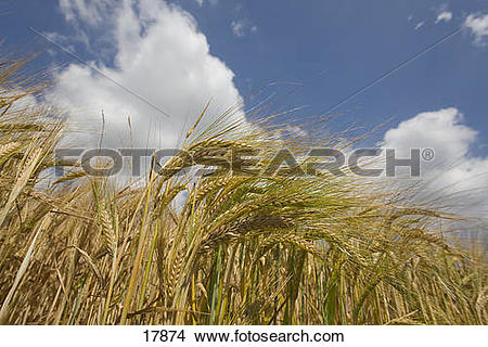Stock Photo of Clouds in blue sky over barley field 17874.