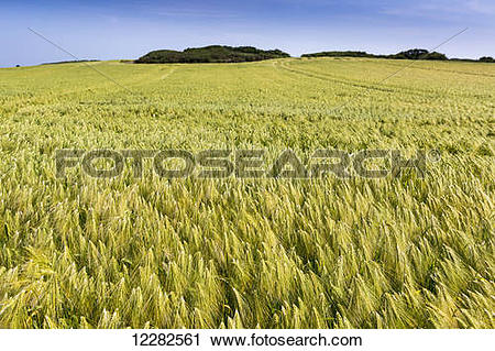 Stock Photography of Wide angle image of a barley field with blue.