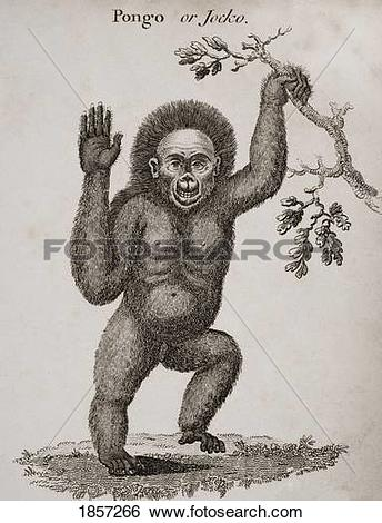 Stock Images of Satyrus, Ourang Outang. Pongo Or Jocko. Engraved.