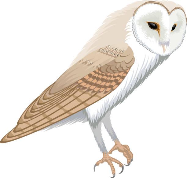 Best Barn Owl Illustrations, Royalty.