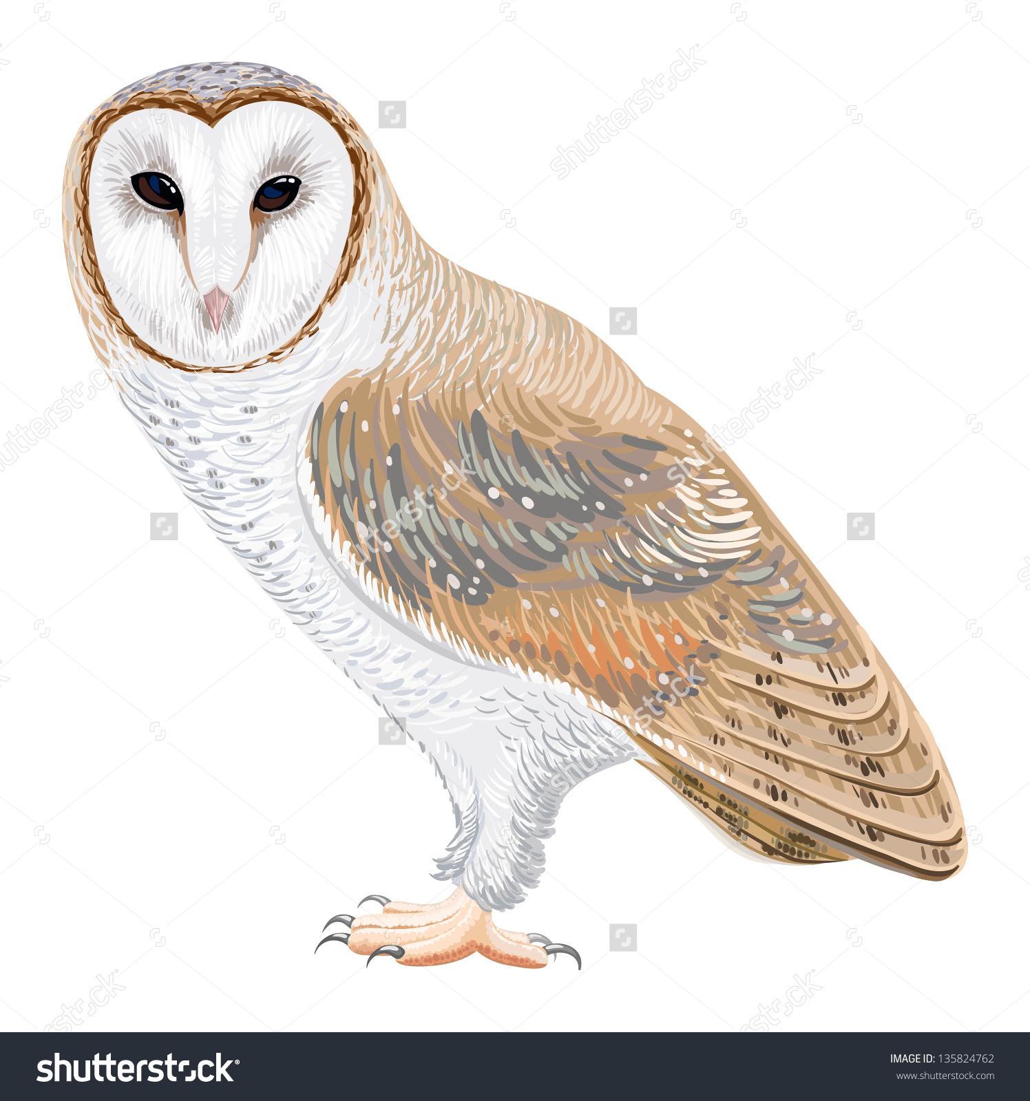 Barn Owl Stock Vector 135824762.