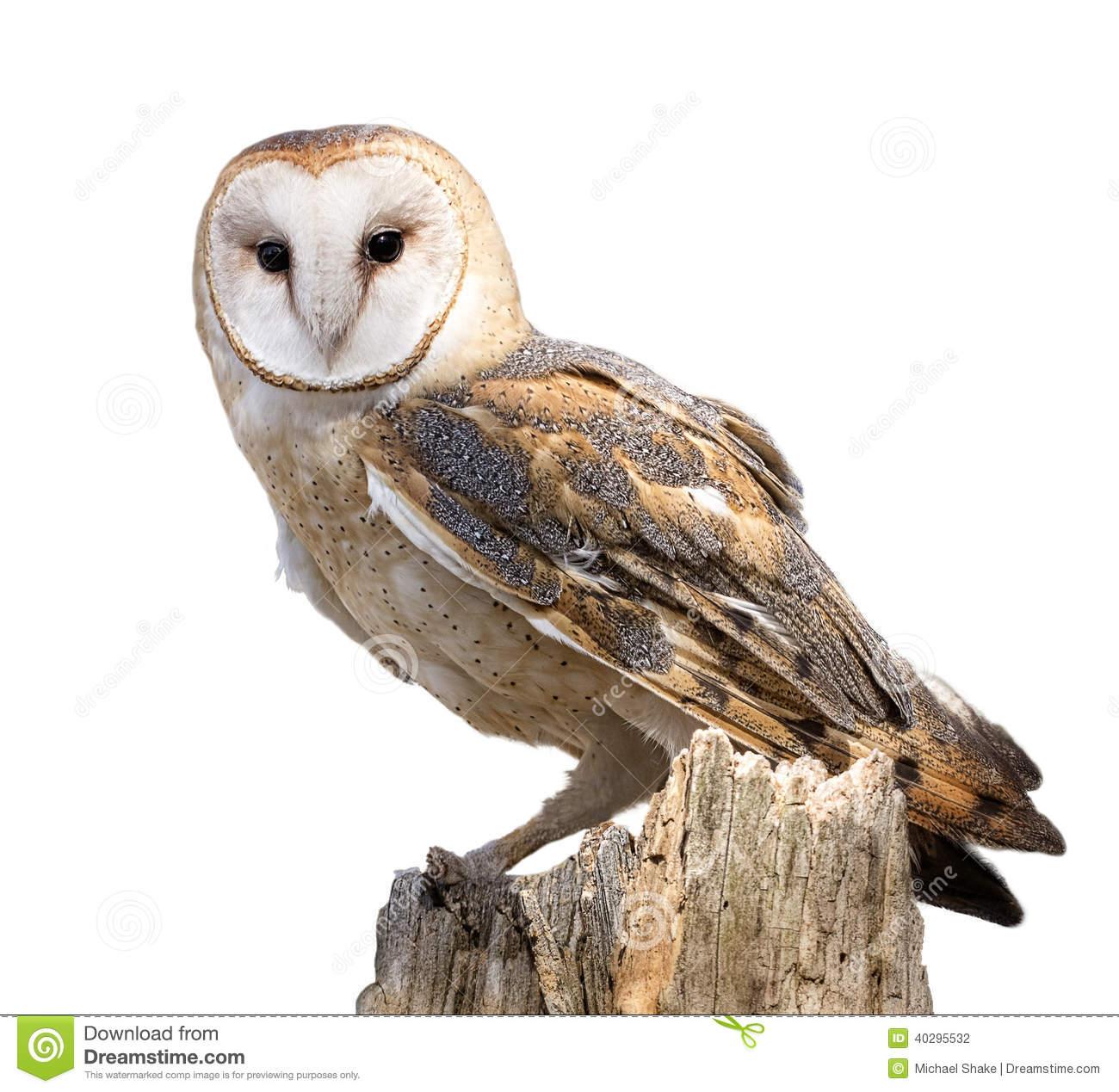 Barn Owl Stock Photo.
