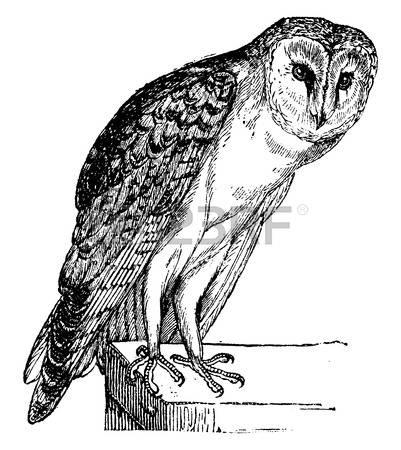 294 Barn Owl Stock Vector Illustration And Royalty Free Barn Owl.