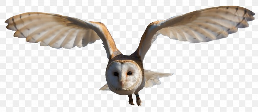 Barn Owl Clip Art, PNG, 3400x1481px, Bird, Barn Owl, Beak.