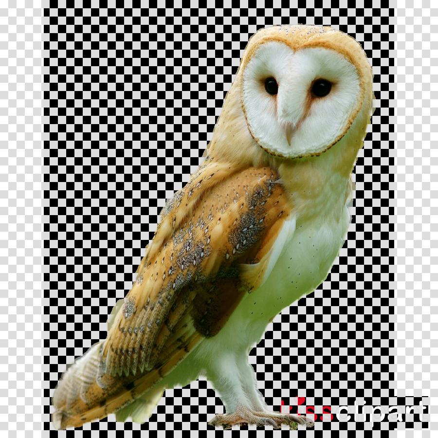 barn owl bird owl bird of prey beak clipart.