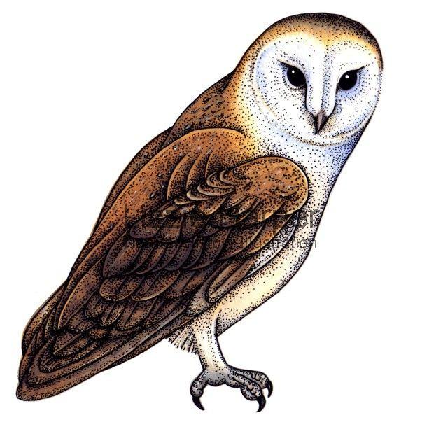 Common barn owl.