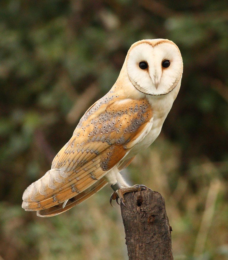 British Barn Owls Still Struggling Adapt Modern Animated.