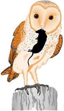 Owl Pellets.