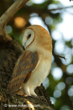 3814 Best Barn Owls images in 2019.