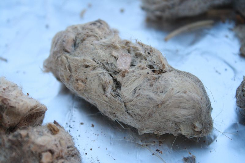 The Magnifying Glass: Owl Pellets.