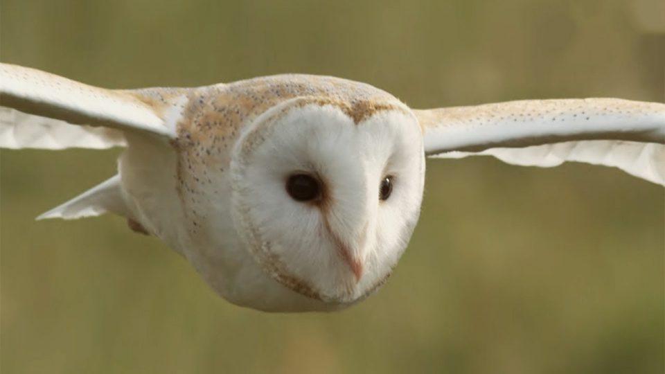 Graceful Barn Owl Hunting The Daytime Earth Image.