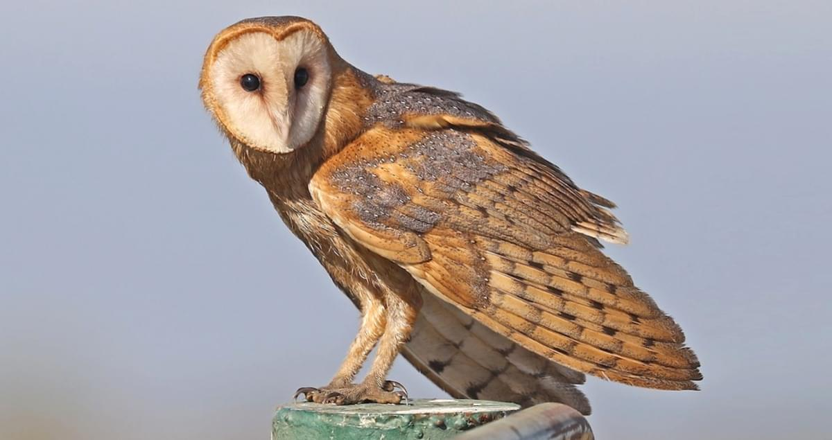 Barn Owl Overview, All About Birds, Cornell Lab of Ornithology.