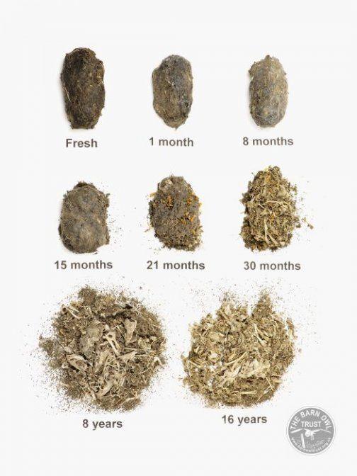 Barn Owl Pellet Age Guide Chart (ordinary Barn Owl Pellets.