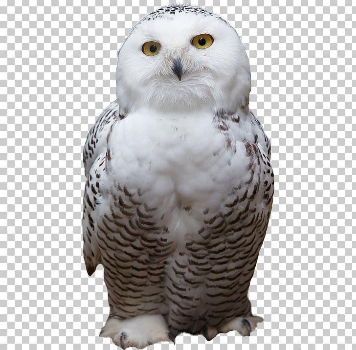 Snowy Owl Bird Mouse PNG, Clipart, Animal, Animals, Barn Owl.
