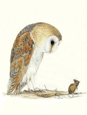 barn owl and mouse. watercolor by colin woolf..