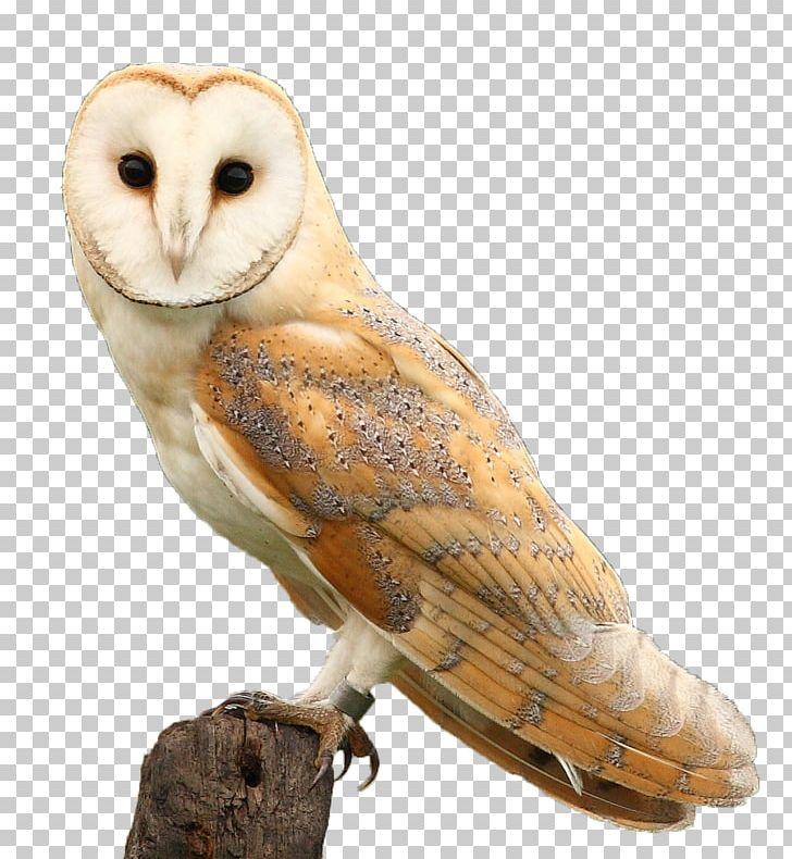Hawk & Owl Trust Barn Owl Beak Feather PNG, Clipart, Animals.