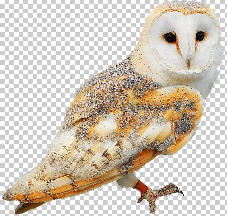 Barn Owl Bird PNG, Clipart, Animals, Barn Owl, Beak, Bird.