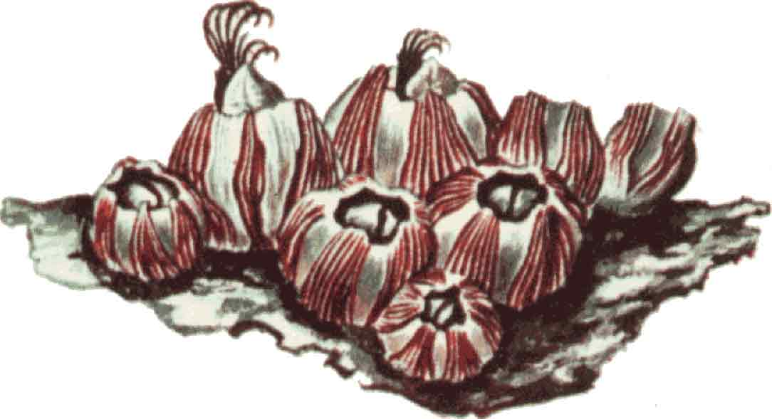 Barnacle Clipart.