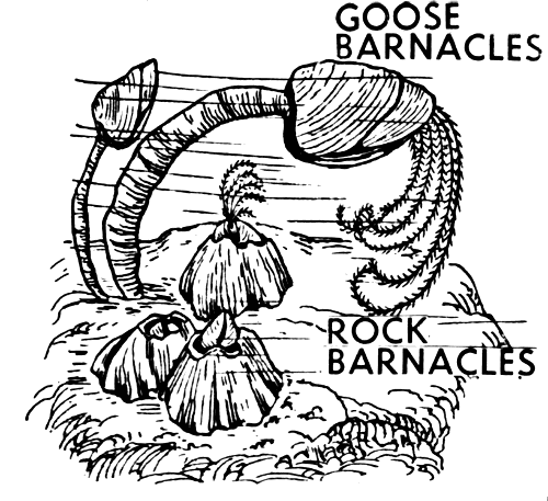 Free Barnacle Clipart.