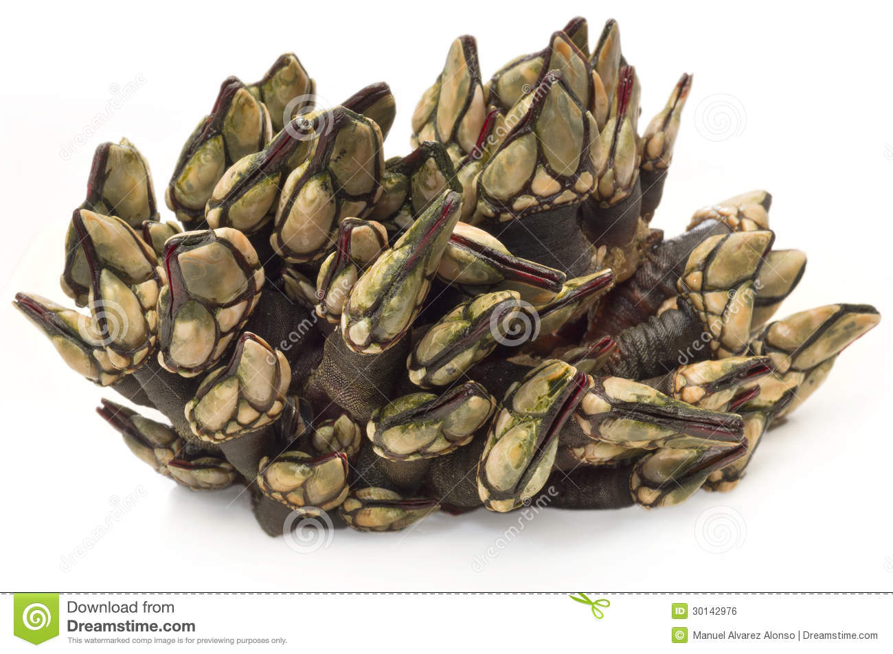 A Fresh Bunch Of Barnacle Royalty Free Stock Image.