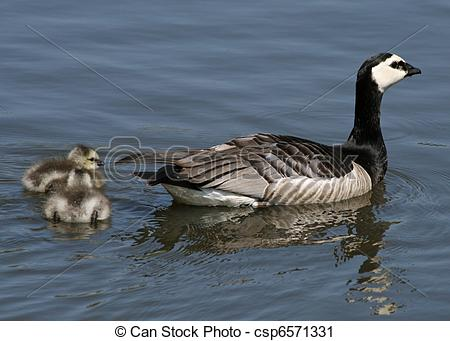 Stock Photography of Barnacle Geese and goslings 2 csp6571331.