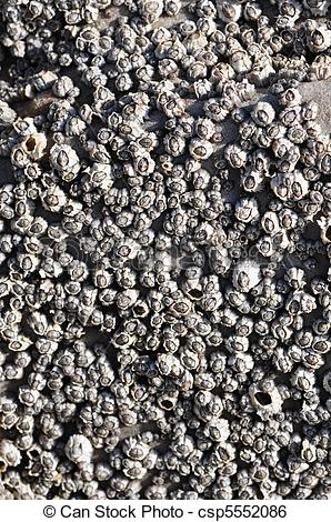 Stock Image of Barnacles.