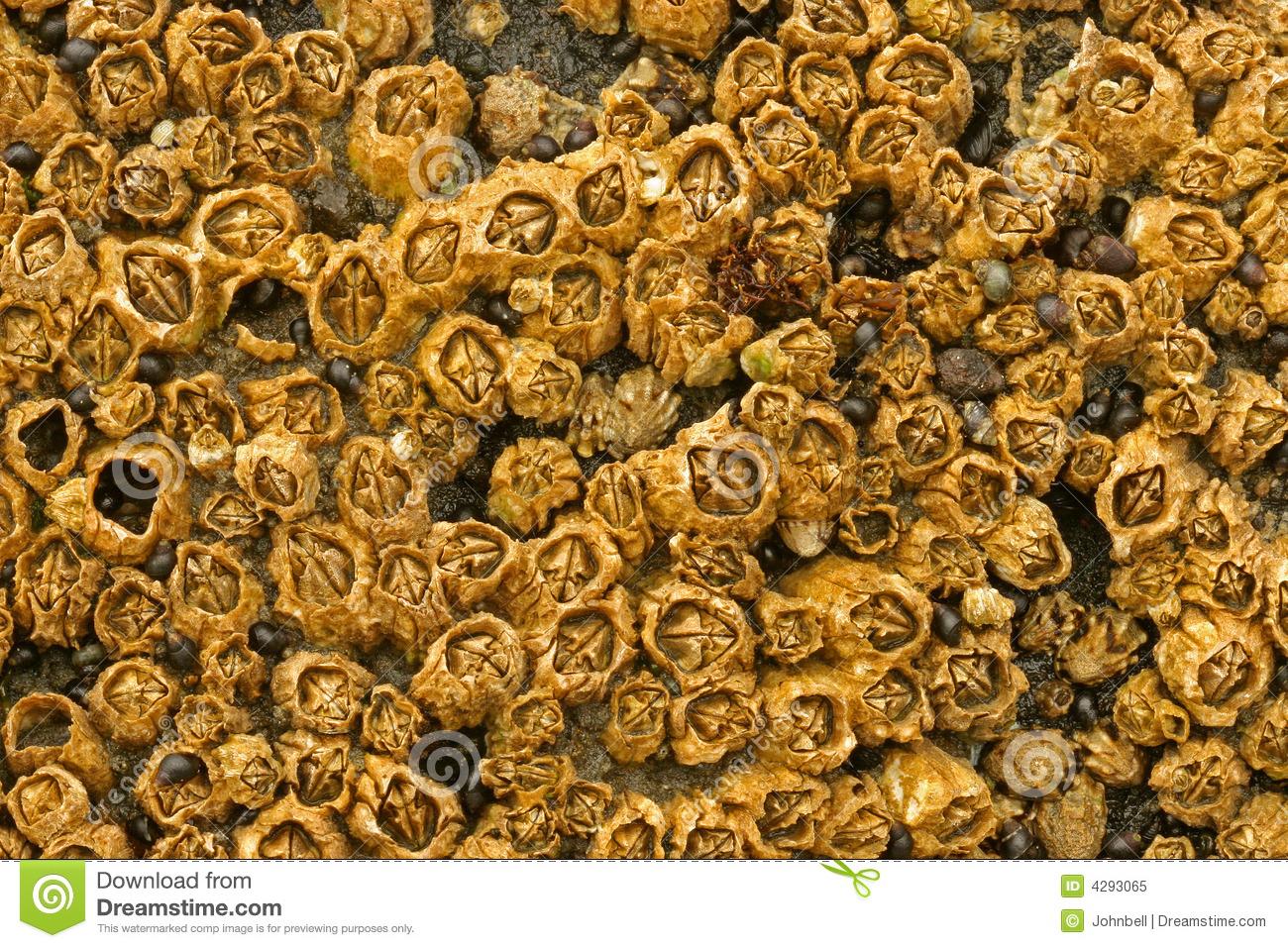 Honeycomb Barnacles Royalty Free Stock Photo.