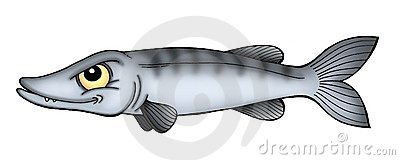 Barracuda Stock Illustrations.