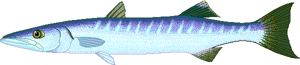 Barracuda Clip Art Download.