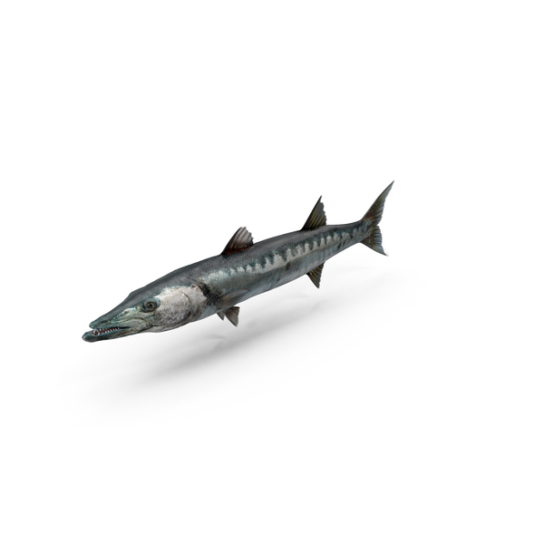 Barracuda PNG Images & PSDs for Download.