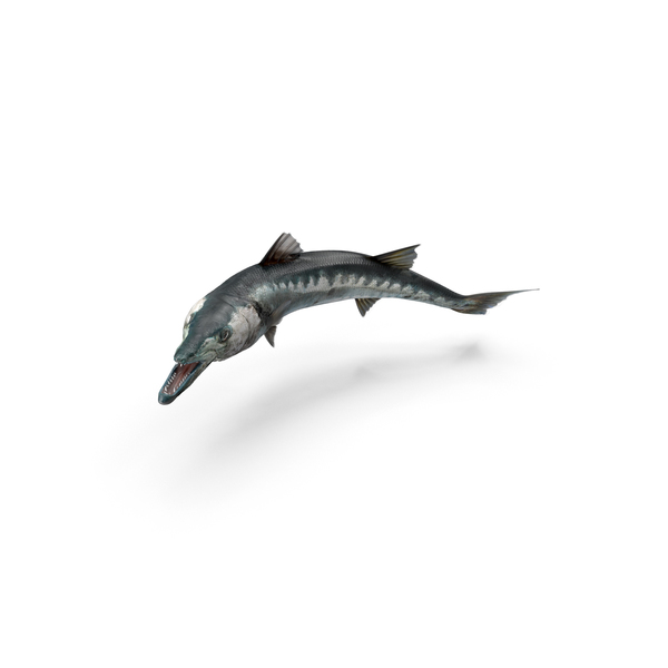 Barracuda Fish PNG Images & PSDs for Download.