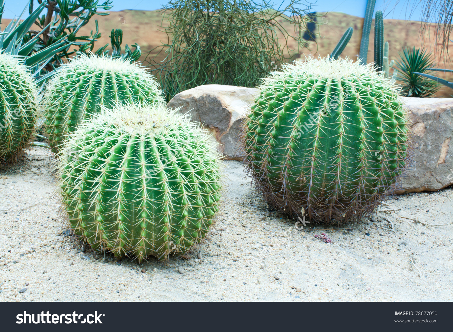 Golden Barrel Cactus Stock Photo Stock Photo 78677050.