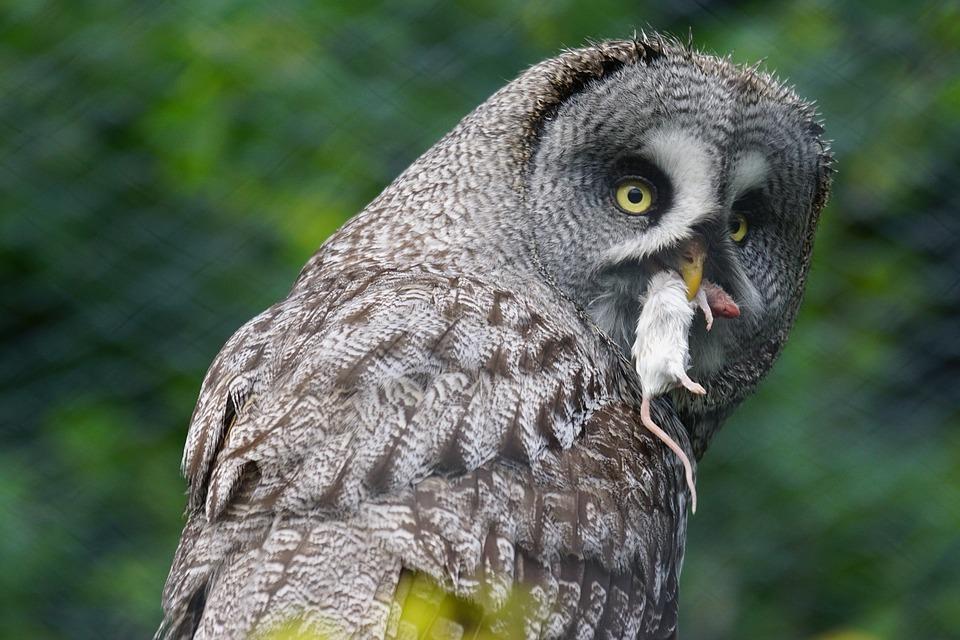 Free photo Owl Mouse Hunter Bart Owl Bird Close.