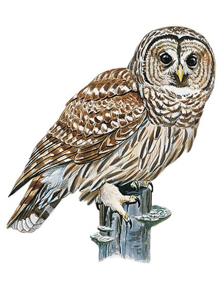 Owl Picture, Best Owl Wallpapers in High Quality, Owl Backgrounds.