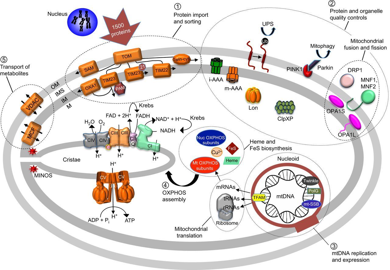 Yeast as a system for modeling mitochondrial disease mechanisms.