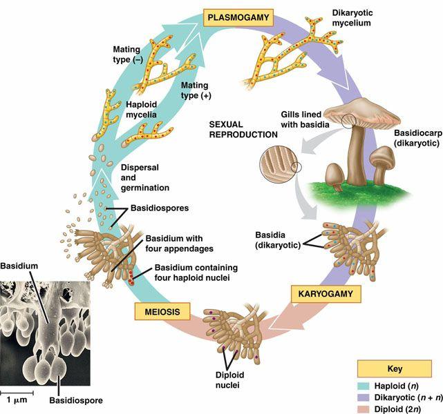 24.3 Diversity of Life: Fungi key.