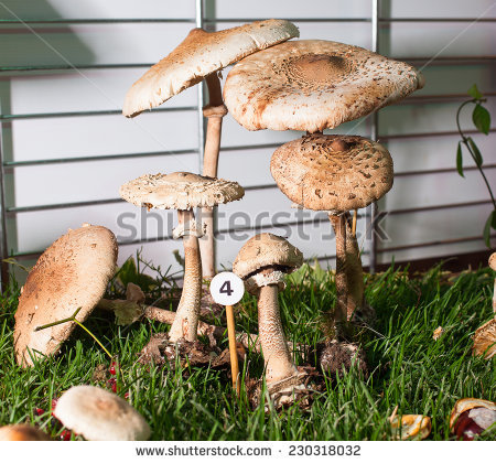 Basidiomycete Stock Photos, Royalty.