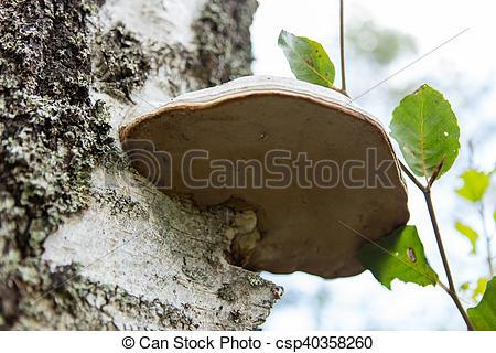 Stock Image of Basidiomycota mushroom growing on the tree.
