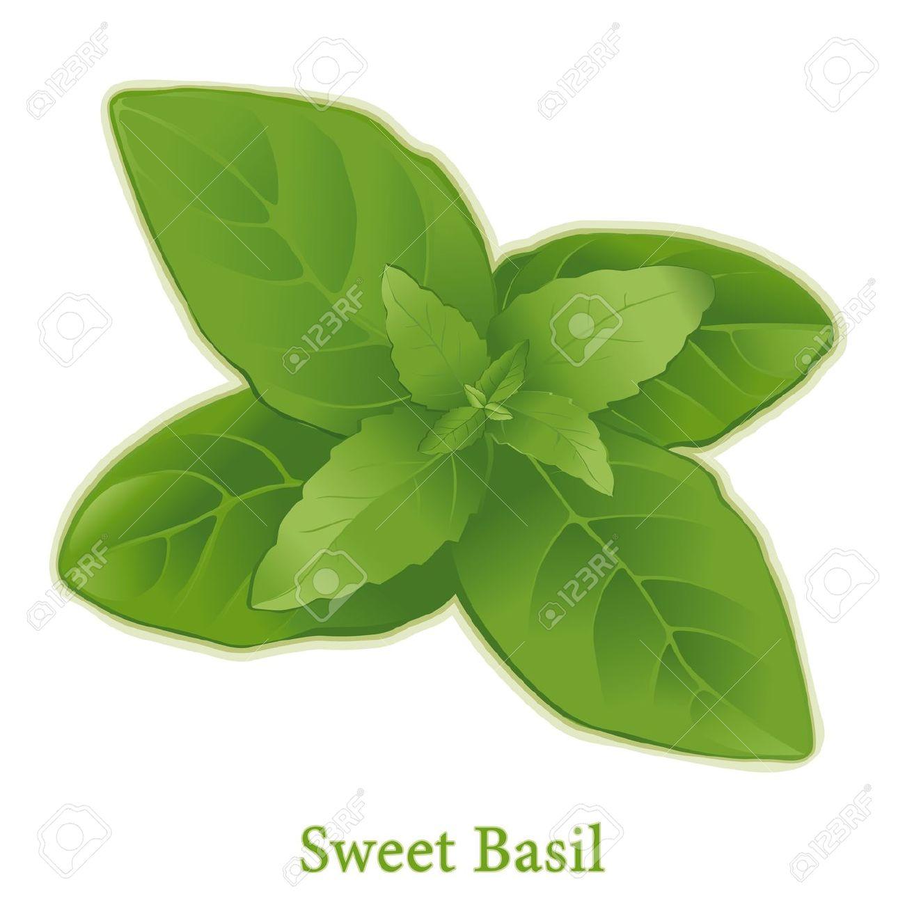 Basil Clipart.