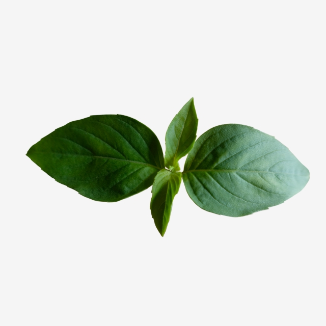 Four Leaves Basil Top Leaves That Use For Food Garnishing, Leaves.