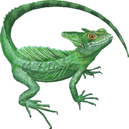 Plumed Basilisk, Green Basilisk, Double Crested Basilisk clipart.