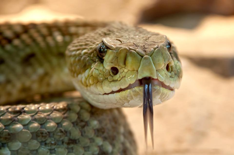Free photo Rattlesnake Basilisk Rattlesnake Viper Snake.
