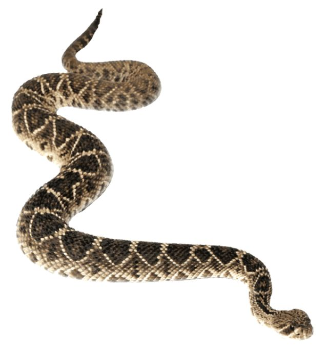 1000+ images about Rattlesnakes on Pinterest.