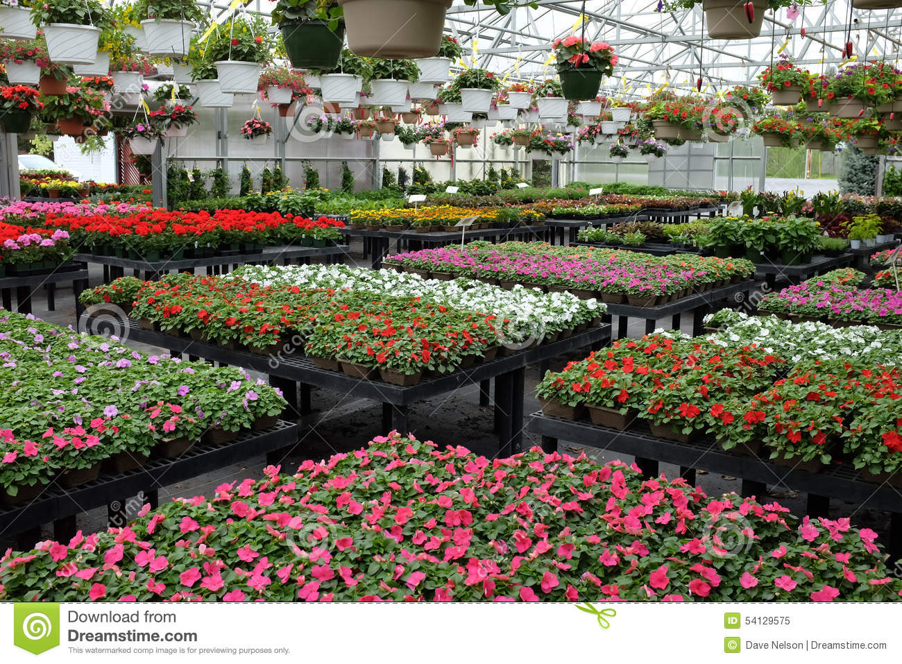 Annual Flowers For Sale In Greenhouse Stock Photo.