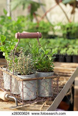Stock Photo of Herb pots in metal basket in greenhouse x28303624.
