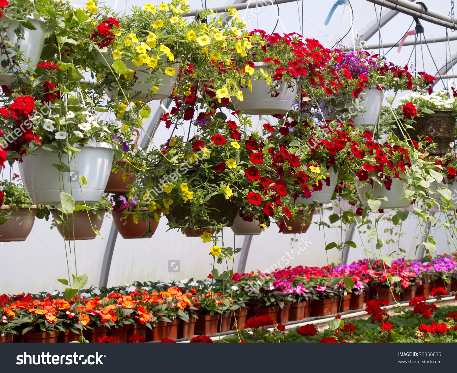 Multicolored Flowers Hanging Baskets Greenhouse Stock Photo.
