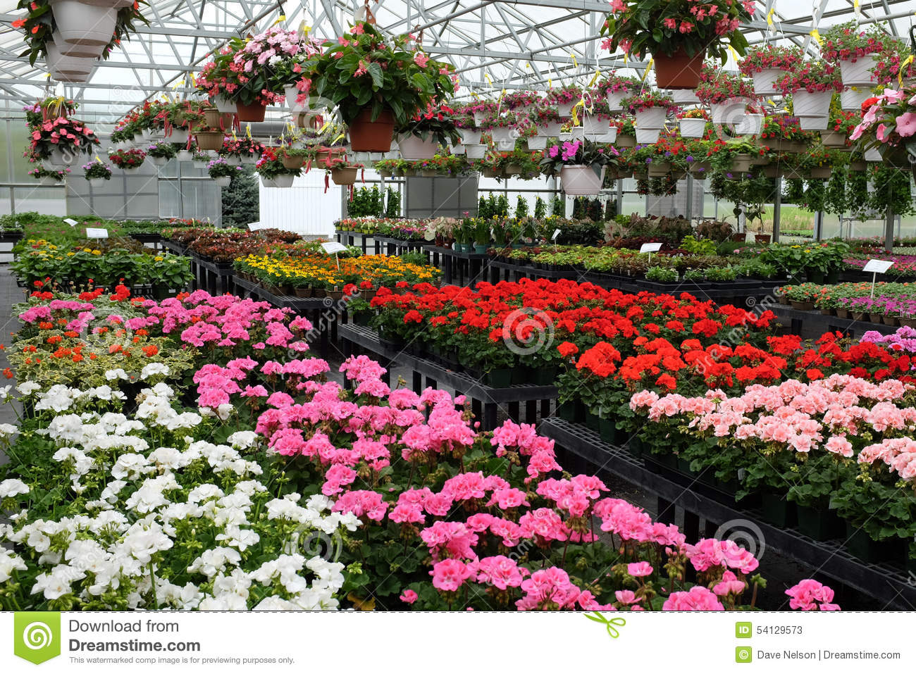 Hanging Baskets Of Flowers For Sale In Greenhouse Stock Photo.