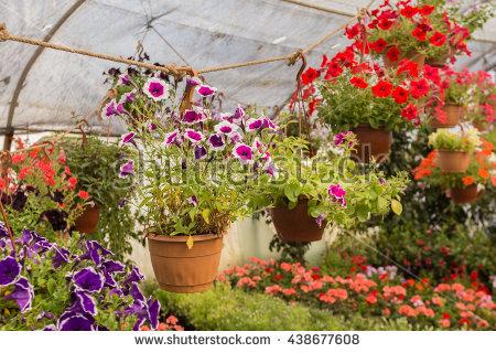 Petunia Hanging Baskets Growing Greenhouse Stock Photo 101440072.