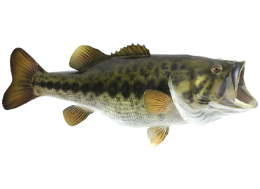 Bass Fish Png (92+ Images In Collection) #182531.